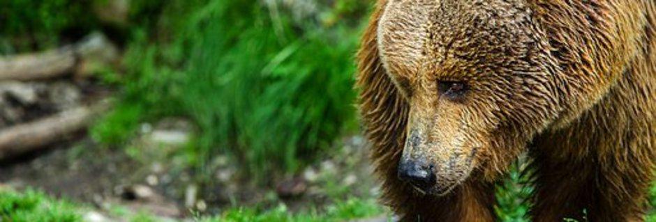 heiler sein mit dem Mut und der Geduld des Krattiers Bär